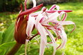 Crinum lily (cape lily) Stock Photo