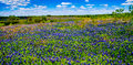 A crisp big beautiful colorful panoramic high def wide angle view of a texas field blanketed with the famous texas bluebonnets Stock Images
