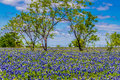 A crisp big beautiful colorful wide angle view of a texas field blanketed with the famous texas bluebonnets bluebonnet lupinus Royalty Free Stock Photography