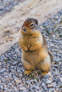 Critter squirrel near lake louise banff alberta canada Stock Photos