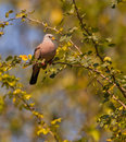 Croacking Ground Dove on bush Stock Photo