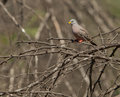 Croaking Ground Dove on branch Royalty Free Stock Photo