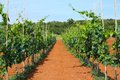Croatia agriculture vineyard on istria peninsula on red soil Royalty Free Stock Photography