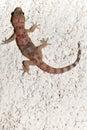 Croatian gecko (macaklin) Royalty Free Stock Photo