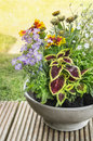Crock with coleus and blanket flowers on terrace in garden Royalty Free Stock Images