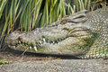 Head of huge crocodile with spiky teeth Royalty Free Stock Photo