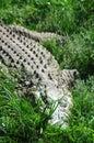 Crocodile Стоковое Изображение RF