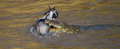 Crocodile attack wildebeest in the Mara river. Great Migration. Kenya. Tanzania. Masai Mara National Park.