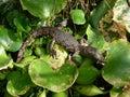 Crocodile baby nile crocodylus niloticus Stock Photo