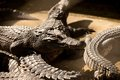 Crocodile crocodils lying on each other Stock Images