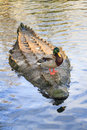 Crocodile ducky Royalty Free Stock Photo