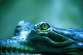 Crocodile Eye Stock Images