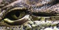 Crocodile eye close-up Royalty Free Stock Photo