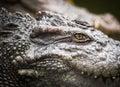 Crocodile eye Royalty Free Stock Photo