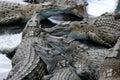 Crocodile Farm Royalty Free Stock Images