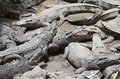 Crocodile group a horizontal photographic image of a of crocodiles relaxing in the sun Royalty Free Stock Images
