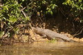 Crocodile halfway out of a river in australia Stock Images