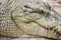 Crocodile head. Stock Images