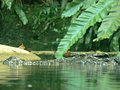 Crocodile head above water Royalty Free Stock Photo