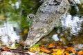 Crocodile head shot in water Stock Image