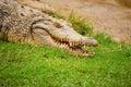Crocodile in hibernation Stock Images