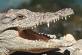 Crocodile jaws a displaying its at the bucharest zoo romania Stock Photography