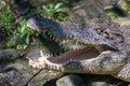 Crocodile mouth Royalty Free Stock Photo