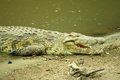 Crocodile nile waiting for prey on riverside Stock Photography