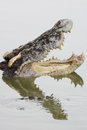 Crocodile with open jaws a Stock Photos