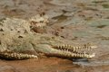 Crocodile with open mouth at the edge of river laying in mud Royalty Free Stock Images