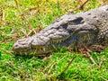 Crocodile Portrait. Croc Hidde...