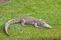 Crocodile resting on the grass near lakeside Royalty Free Stock Photos
