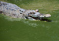 Crocodile a saltwater indopacific in australia Royalty Free Stock Photo