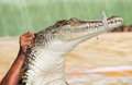 Crocodile a saltwater indopacific being held up Royalty Free Stock Photography