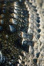 Crocodile scales texture the of a nature Royalty Free Stock Images