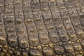 Crocodile Skin Royalty Free Stock Photography