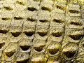 Crocodile skin a close up view of a nile crocodiles and scales Stock Photos