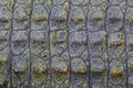 Crocodile skin texture for background Stock Photos