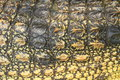 Crocodile skin texture close up and background Royalty Free Stock Photo