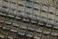 Crocodile skin texture close up background of alligator Royalty Free Stock Photos