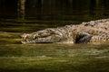 Crocodile at Sumidero Canyon - Chiapas, Mexico Royalty Free Stock Photo