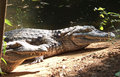 Crocodile sunbathe in the nature Royalty Free Stock Photo