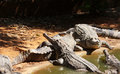 Crocodile sunbathe in the nature Stock Photography