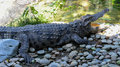 Crocodile sunbathe open mouth in farm Royalty Free Stock Photography