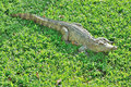 Crocodile sunbathing on the glass Royalty Free Stock Photo
