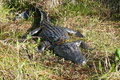 Crocodile is sunbathing in the meadow Royalty Free Stock Photo