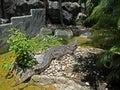 Crocodile Sunbathing near The Pond, Clipping Path Royalty Free Stock Photo