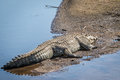 Crocodile sunbathing next to the water. Royalty Free Stock Photo