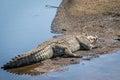 Crocodile sunbathing next to the water. Royalty Free Stock Photo