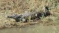 Crocodile at sunbathing Royalty Free Stock Photo